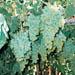 Sadenice vínnej révy